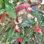 ベゴニア キダチベゴニア(木立性ベゴニア)5号 コダチベゴニア ジニー 在庫1鉢
