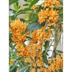 キンモクセイ (金木犀) きんもくせい 7号鉢 庭木 常緑樹 香りの花 花木