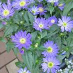 Yahoo!インテリアグリーンのポトス草花の苗 ミヤコワスレ(都忘れ)江戸紫 4号鉢 山野草の苗 毎年咲く多年草 切花種 10%引きセール