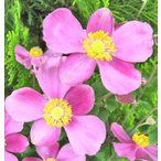 Yahoo!インテリアグリーンのポトスシュウメイギク(秋明菊)5号鉢 宿根草 一重咲きピンク 花苗 鉢花 半額セール 自家用