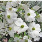 ハナミズキ (花水木) クラウドナイン 7号鉢 接ぎ木苗 白花 大輪種