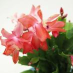 デンマークカクタス (トーアアリス) 5号 23%引き  シャコバサボテン 鉢花 在庫1鉢