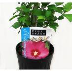 ムクゲ むくげ 木槿 6号 赤花系 開花株 庭木 在庫3鉢