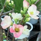 ボケ 盆栽 (寒東洋) 放春花  7号  木瓜  ぼけの花