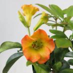 マレーシアシャクナゲ(マレーシア石楠花)ビレア5号 ハロエドゴールド 在庫1鉢