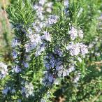 Yahoo!インテリアグリーンのポトスハーブ ローズマリー 7号鉢A 香草 常緑樹 苗木  庭植え用 セール 特価