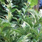 ヒサカキ(残雪) ザンセツ 5号鉢 庭木 常緑樹 日陰の植物