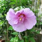 ムクゲ 木槿 むくげ 6号 ローズオブシャロン ラベンダーシフォン 八重咲き 苗木 花木 入荷時つぼみ付
