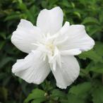 ムクゲ 木槿 むくげ 6号 ローズオブシャロン ホワイトシフォン 八重咲き 苗木 花木 入荷時つぼみ付 在庫1鉢