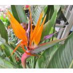 観葉植物 ストレリチア・レギネ (極楽鳥花) 10号鉢