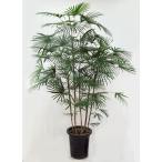 観葉植物  ウンナンシュロチク  雲南棕櫚竹  雲南シュロチク 10号A