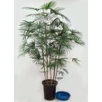 観葉植物  ウンナンシュロチク  雲南棕櫚竹  雲南シュロチク 10号鉢A 受皿付