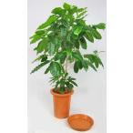 観葉植物 コーヒーの木 7号 (受皿付)