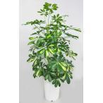 観葉植物 ホンコンカポック(シェフレラ・斑入り)7号