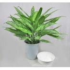 観葉植物 アグラオネマ (シルバークイーン) 6号 受皿付