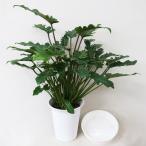 観葉植物 クッカバラ 6号(受皿付)