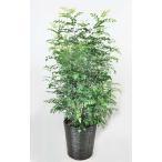 観葉植物 シマトネリコ 8号(籐かご、皿付) シンボルツリー 庭木 常緑樹