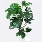 観葉植物 モンステラ 7号(受皿付)