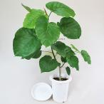 観葉植物 ウンベラータ 7号 フィカスウンベラータ A  受皿付