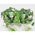観葉植物 シュガーバイン 2株セット