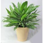 観葉植物 アグラオネマ 6号(陶器鉢カバー付)