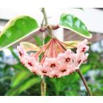 観葉植物 ホヤ・カルノーサ 5号吊鉢