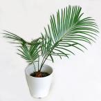 観葉植物 ソテツ (蘇鉄) そてつ 4.5号鉢
