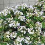 カゲツ (花月・金のなる木) 5号 花芽付 桜花月 カネノナルキ 多肉植物