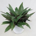 観葉植物 ムラサキオモト 5号 紫万年青
