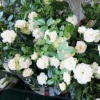 バラ苗 ミニバラ(グリーンアイス)5号 四季咲き