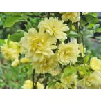 モッコウバラ バラ苗 ツルバラ 5号鉢 黄もっこうばら 八重咲き  ミニバラ 入荷時花付