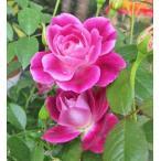 バラFL(ブリリアント・ピンク・アイスバーグ・Brillant Pink Iceberg)7号大 開花株 現品1鉢