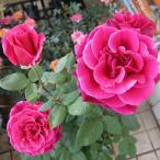 バラ苗 ミスターリンカーン 6号鉢 大苗 大輪四季咲き HT 黒バラ・香りのバラ