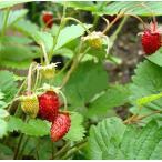 ワイルドストロベリー 苺 イチゴ いちご 苗 ハーブ