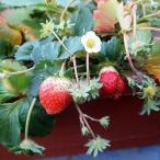 イチゴプランター 65cm いちご 苺 とちおとめ トチオトメ 栃乙女 果樹苗 すぐ収穫可能 1個のみのお買得品