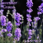 ラベンダー『グロッソ』 9cmポット苗【2個組】