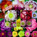 八重咲き クリスマスローズ 【選べる花色】( オリエンタリスハイブリッド 、ダブル ) 10.5cmポット苗