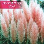 パンパスグラス ピンクフェザー ( ピンク ) 10.5cmポット苗