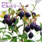 ブルーベリーの野生種、原生種といわれるベリーです。 ブルーベリーは北アメリカ原産ですが、ビルベリーは...