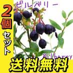 野生種ブルーベリー 『ビルベリー』  9cmポット苗 2個セット