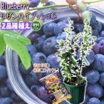 ブルーベリー サザンハイブッシュ系 2品種植え  3年生 8号スリット鉢  ブルーベリー専用肥料プレゼント