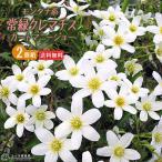 常緑多花性おすすめ品種!鉢植えで満開に!