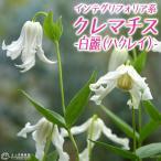 クレマチス 『白麗(ハクレイ)』 インテグリフォリア系 9cmポット苗