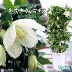 冬咲きクレマチス シルホサ系 『ジングルベル』 5号鉢植え (花芽付き)