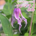 クレマチス 『花島』 インテグリフォリア系 9cmポット苗