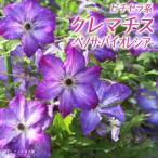 紫に白が入って和の風情のクレマチス
