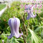 クレマチス 『ソシアリス』 インテグリフォリア系 9cmポット苗