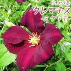 シャープなダークレッドの花!横向き咲きの強健種!