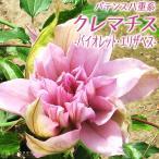 クレマチス 『バイオレット・エリザベス』 パテンス八重系(早咲き大輪系) 9cmポット苗