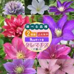 【選べる品種】クレマチス 大輪A 9cmポット苗